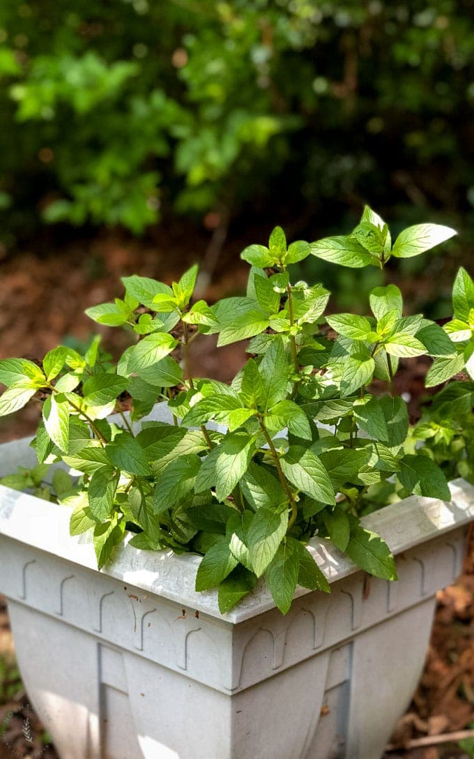 Mint growing in a pot